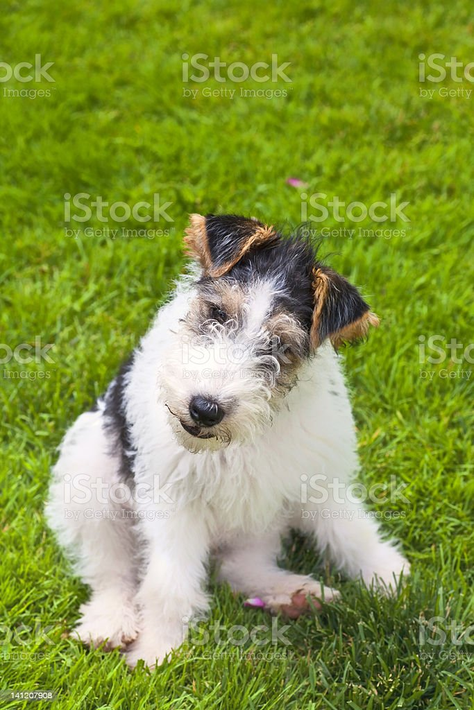 Wire Fox Terrier Puppy stock photo