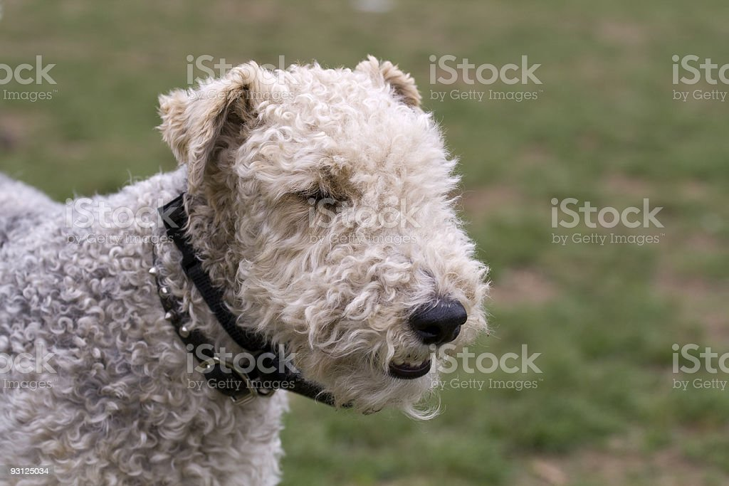 Wire Haired Fox Terrier Head stock photo