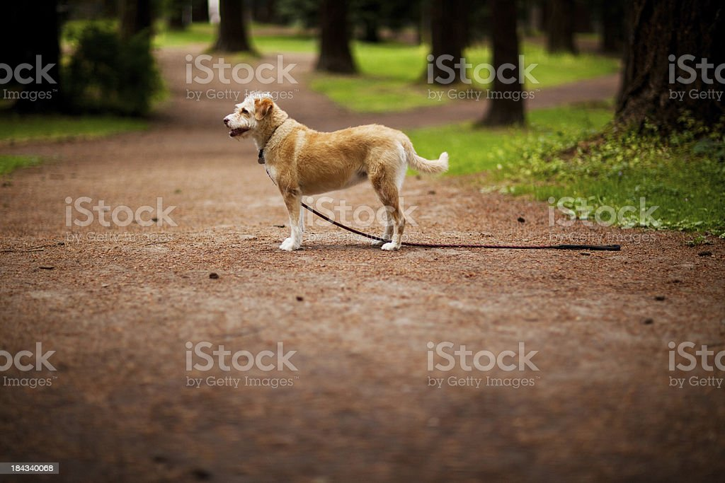 Wire haired terrier mix breed royalty-free stock photo