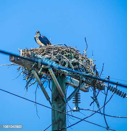 An osprey looks down from its elaborate nest carefully constructed atop a pole carrying high voltage electric current. Often these nests come in contact with the wires and the resulting short circuit  harms or kills the bird, burns the nest and causes power failures to surrounding areas.