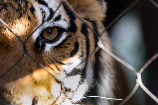 sur les nerfs - tigre photos et images de collection