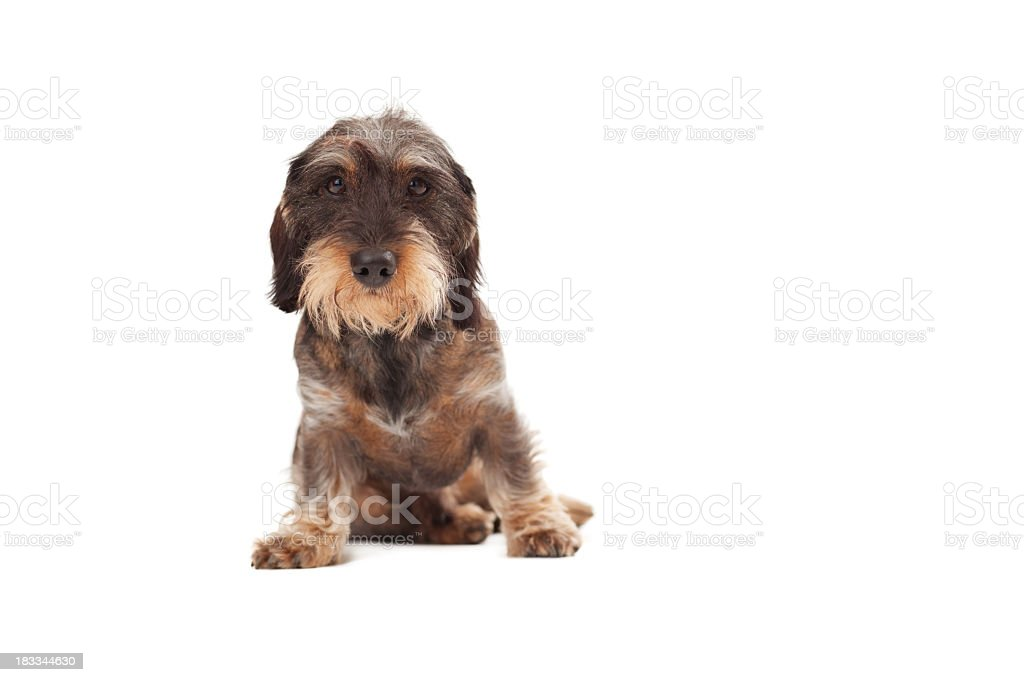 Wirehaired Dachshund Dog Sitting Down Stock Photo & More Pictures of ...
