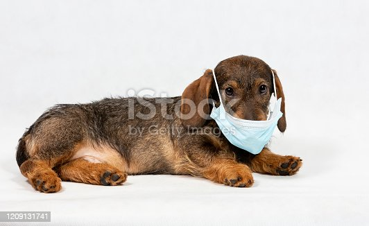 Wire-haired dachshund in a protective face mask. Medical face shield