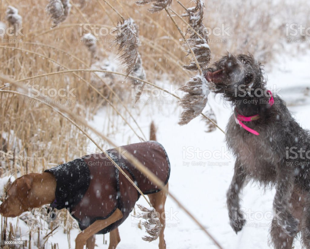 Wirehaired Pointing Griffon And Vizsla Stock Photo & More Pictures ...