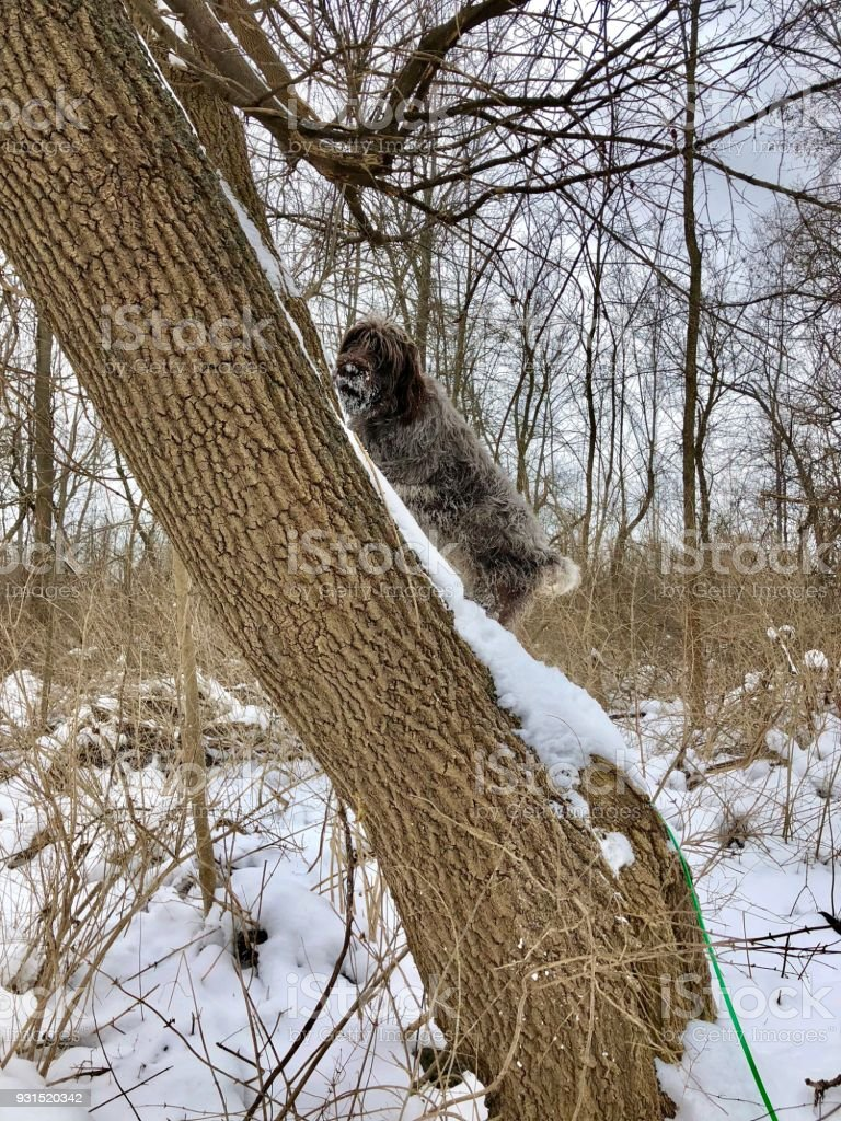 Wirehaired pointing griffon climbs tree stock photo
