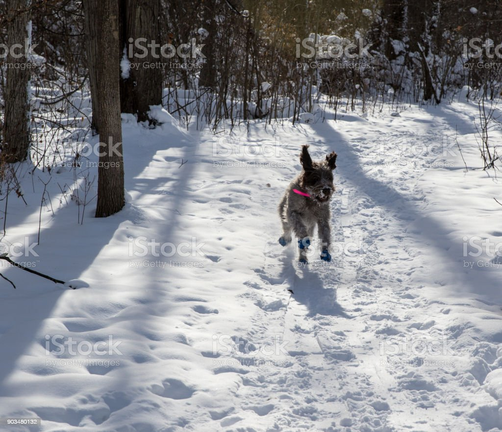 Wirehaired Pointing Griffon In The Snow Stock Photo & More Pictures ...