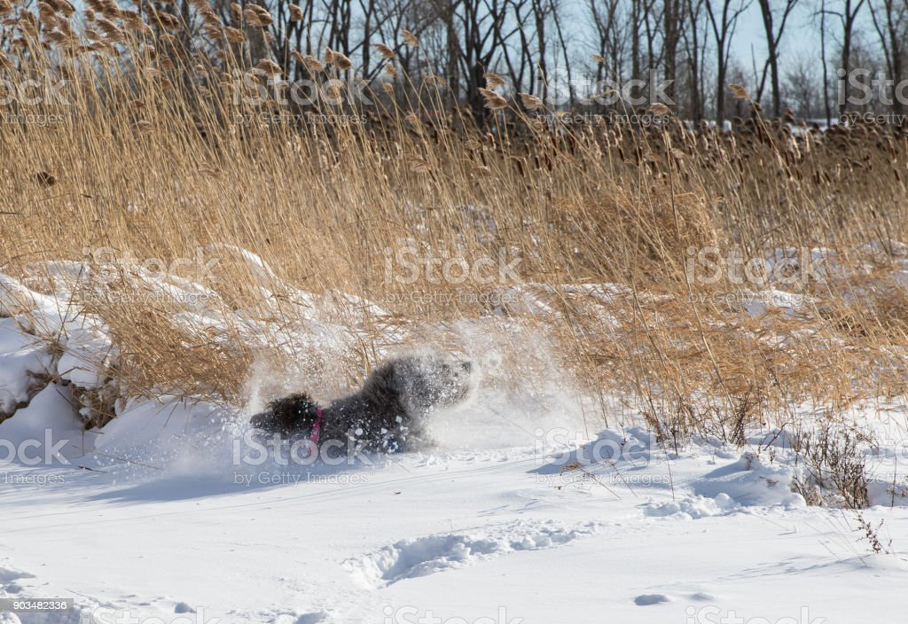 wirehaired pointing griffon in the snow stock photo