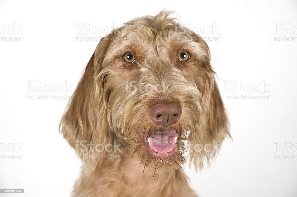 Wirehaired Vizsla Dog Headshot Portrait Pose Against White Background royalty-free stock photo