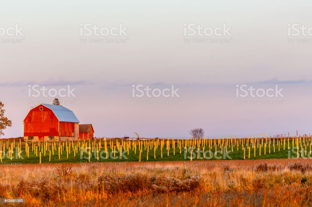 Wisconsin ginseng next to red barn stock photo