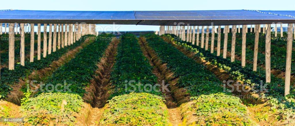 Wisconsin ginseng under shade stock photo
