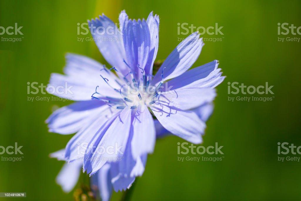 Wisconsin wildflowers (chicory) in bloom stock photo