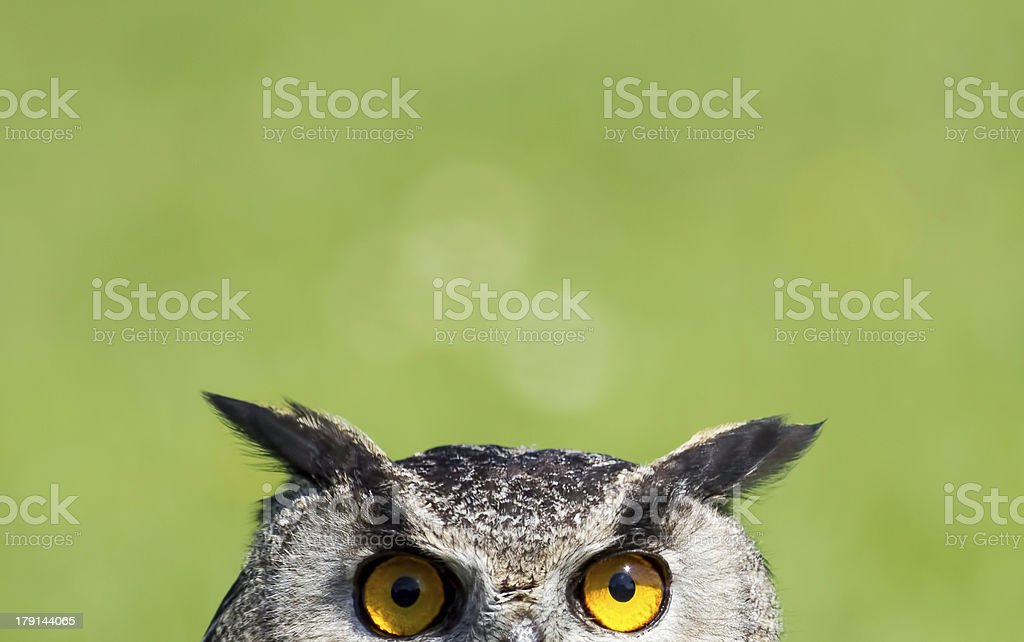 Wise Old Owl Stare stock photo