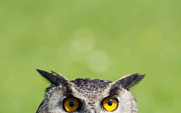 wise old owl stare - owl stock photos and pictures