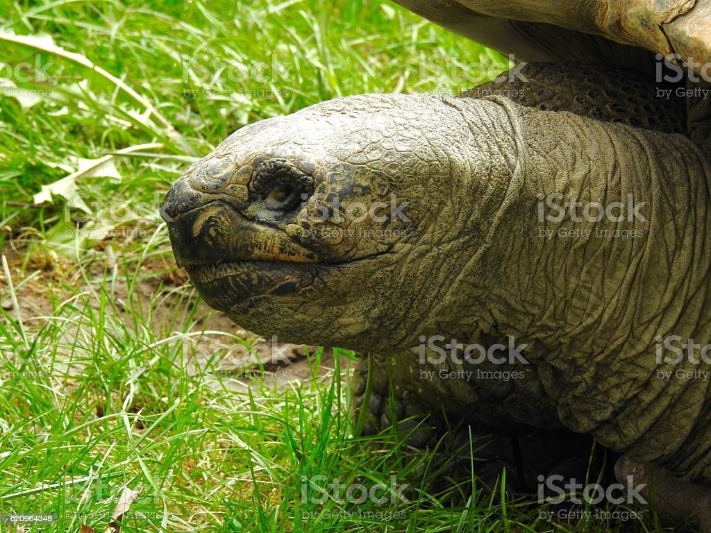 wise old tortoise stock photo