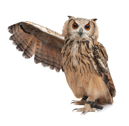 Wise owl pointing something out with his wing isolated on white