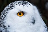 Wise looking white snowy Owl with big orange eyes portrait, black background, close up head shot