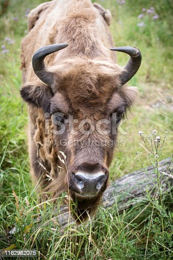 Wisent - Bison bonasus on a meadow