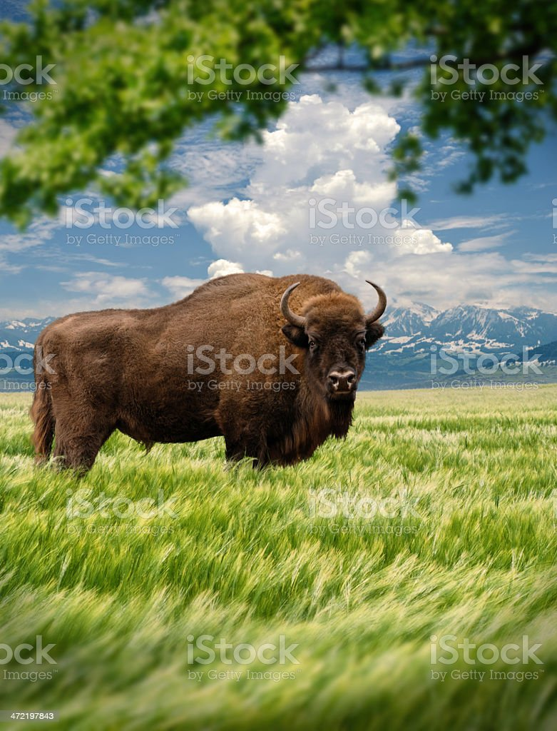 Wisent in landscape stock photo