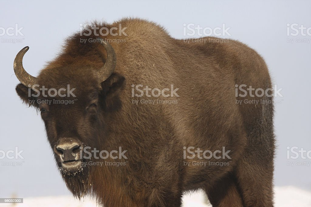 Wisent royalty-free stock photo