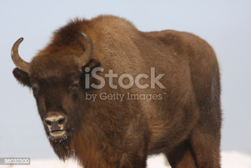 Wisent Stock Photo & More Pictures of Animal