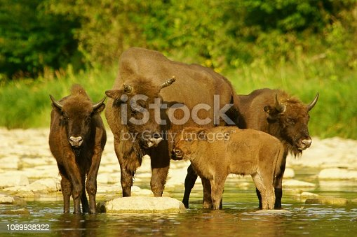 Beautiful background with wild Polish bison.