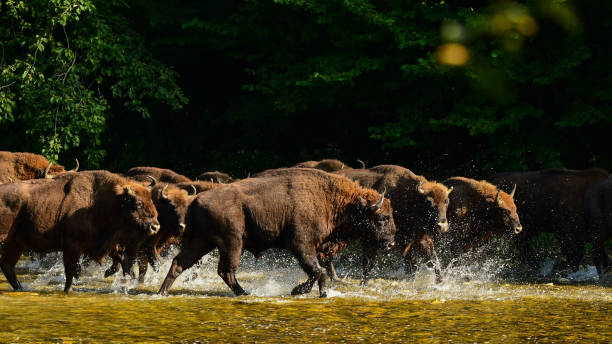 Wisente (Bison Bonasus) in der San-Fluss. Bieszczady-Gebirge. Polen. – Foto