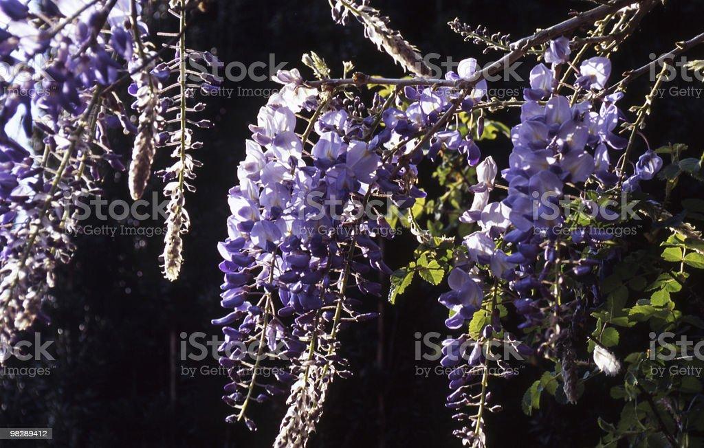 Wistaria Blossom royalty-free stock photo