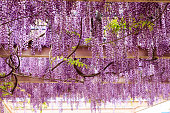 Close-up of a beautiful wisteria plant flowering in springtime.