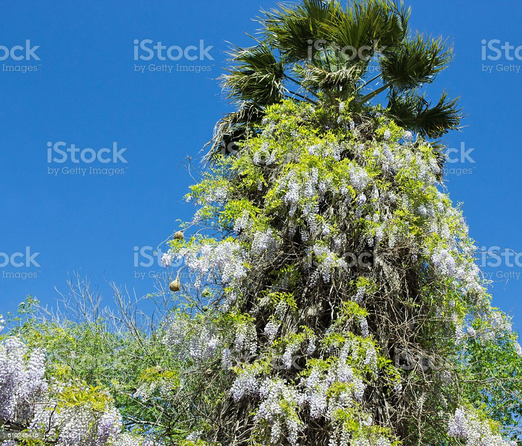 Wistaria stock photo