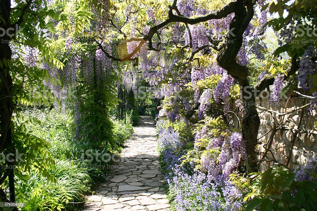 Wisteria 6 stock photo