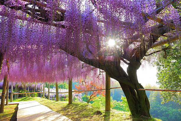 wisteria und die sonne - blauregen stock-fotos und bilder