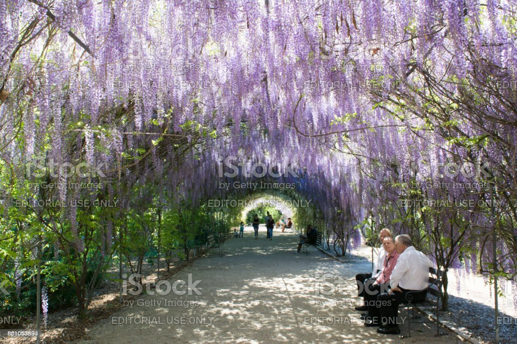 Wisteria Arbour, Adelaide Botanic Garden, South Australia stock photo