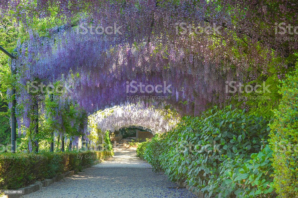 Wisteria Archway stock photo