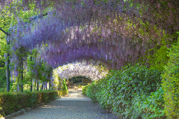 wisteria archway - blauregen stock-fotos und bilder