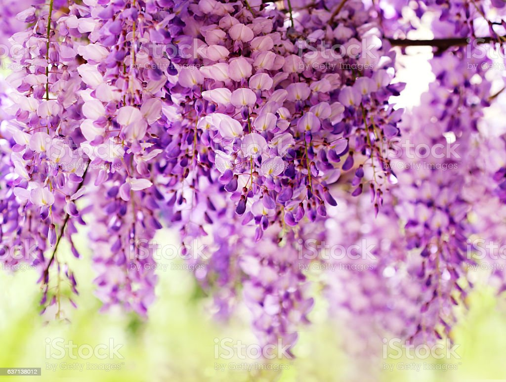 Wisteria blossoms stock photo