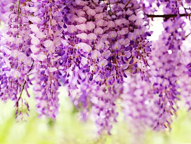 glyzine blüten - blauregen stock-fotos und bilder