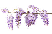 wisteria branch isolated on white background