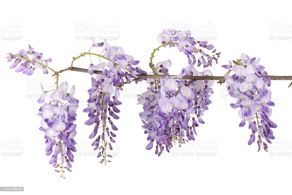 wisteria branch stock photo