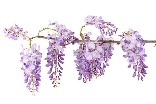 wisteria branch stock photo