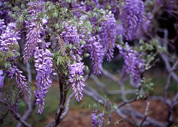 glyzine, brooklyn botanic garden - blauregen stock-fotos und bilder