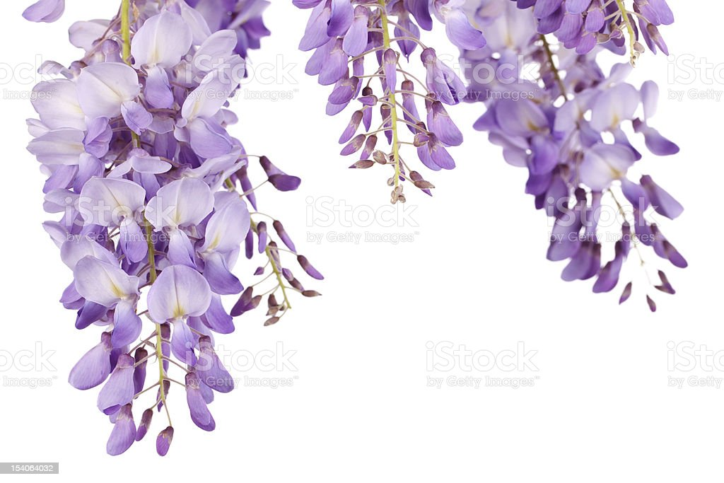 wisteria closeup stock photo