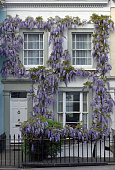 Wisteria growing up the front of a house in the Holland Park area of London