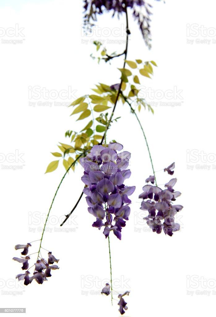 Glyzinien Blüten, grüne Blätter auf einem weißen Hintergrund. – Foto