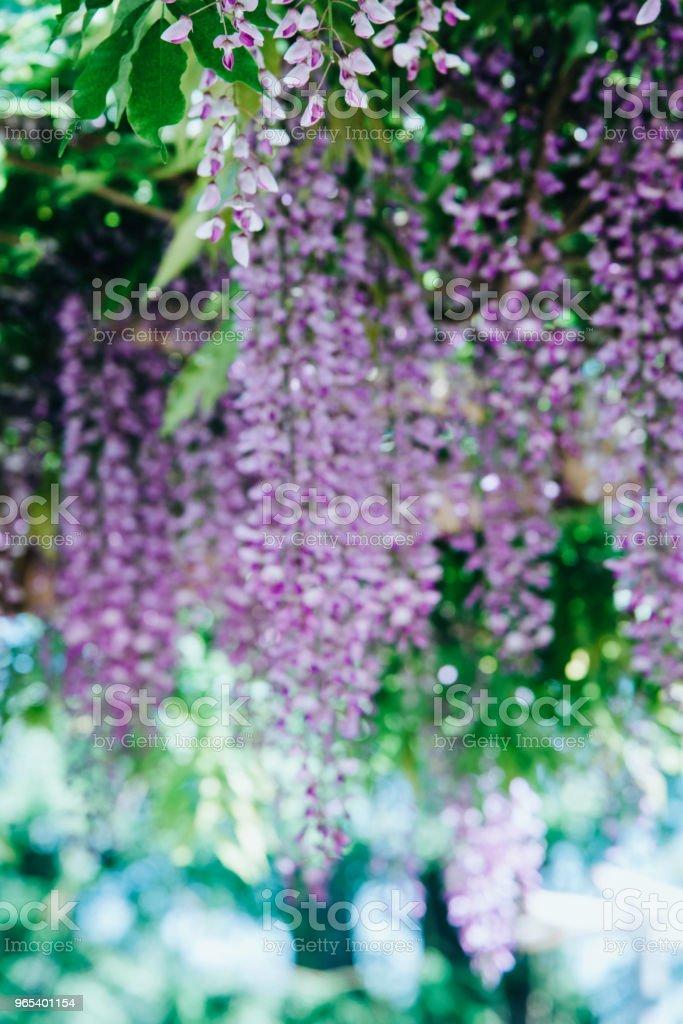 Wisteria Flowers in a park zbiór zdjęć royalty-free