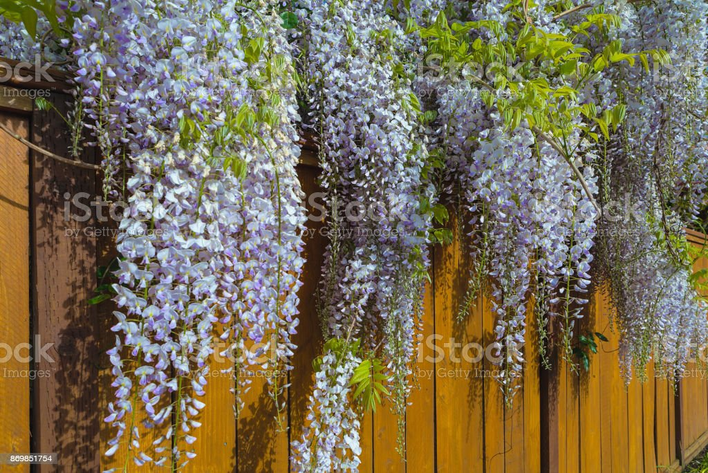 Wisteria flowers in full bloom over wood fence Spring season stock photo
