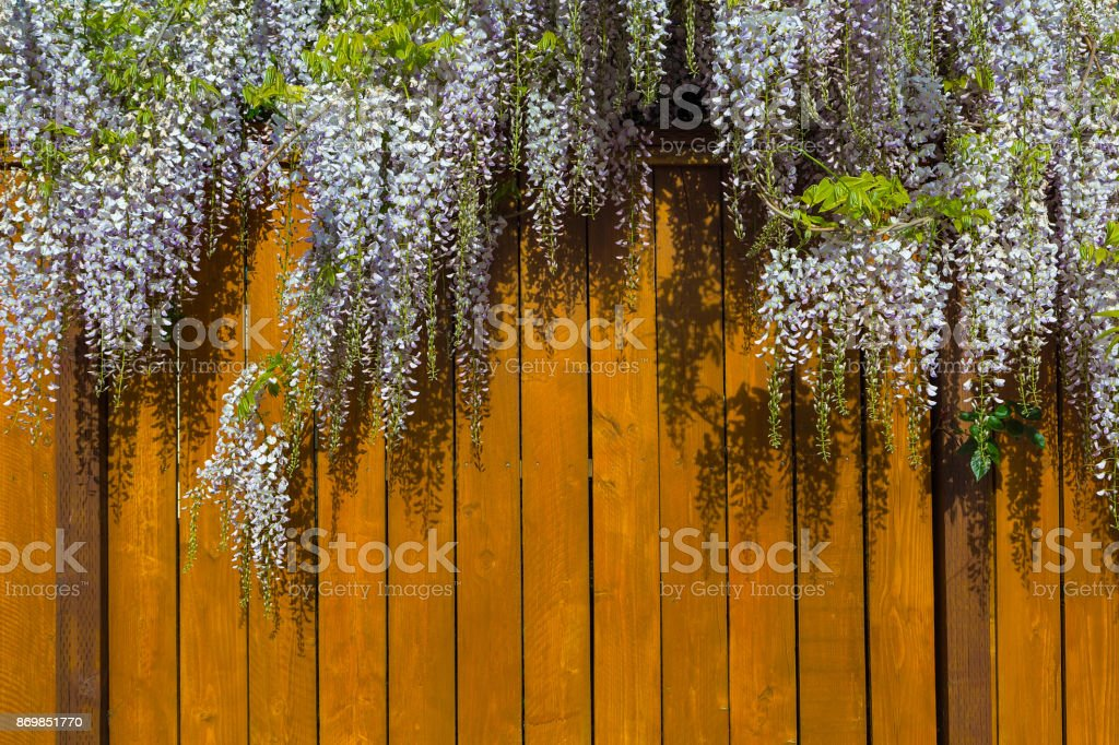 Wisteria flowers in full bloom over wood fence USA stock photo