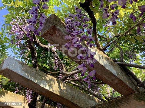 istock Wisteria flowers in Odaka greenery park 1314188226