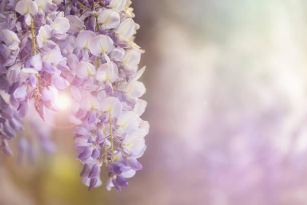 glyzinien blüten im sonnenlicht - blauregen stock-fotos und bilder