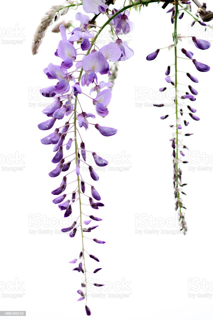 wisteria flowers isolated on white background stock photo