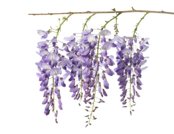 glyzinien blüten isoliert - blauregen stock-fotos und bilder